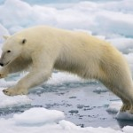 environment_-_endangered_species_-_polar_bear_image
