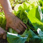 vegetable-garden-sunshine-coast-restrictions