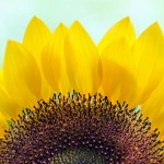 sunflower_daniella_duncan