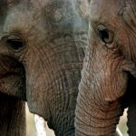 wildlife-cites-africa-elephants