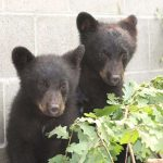 errington-b-c-july-6-2015-these-two-bear-cubs-were-resc1